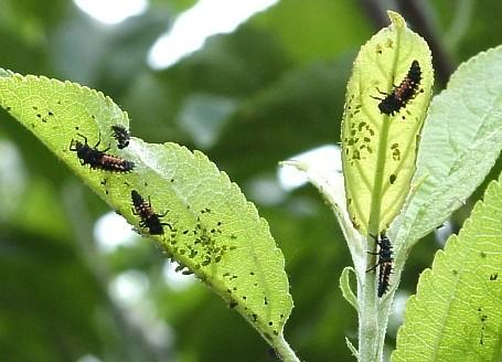 Lady beetle larvae feeding on green apple aphids.