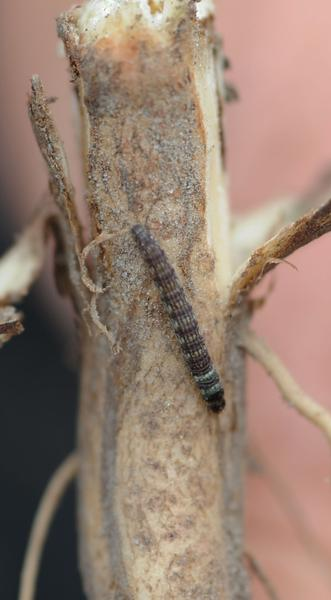 Lesser cornstalk borer larva on soybean stalk