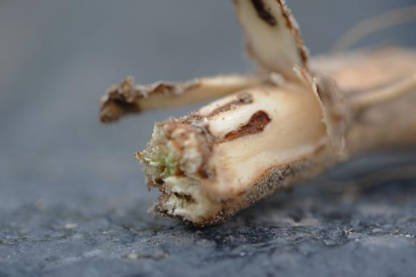 Lesser cornstalk borer girdles on soybean stem