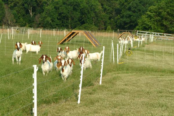 Liquid nitrogen fertilizer experiment: goats on bermudagrass
