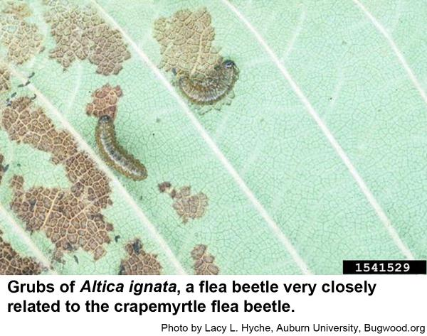 Another example of an Altica flea beetle