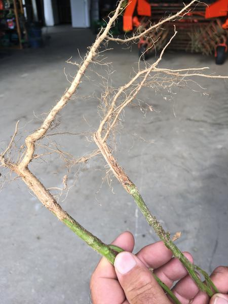 Photo of lateral root growth in soybeans