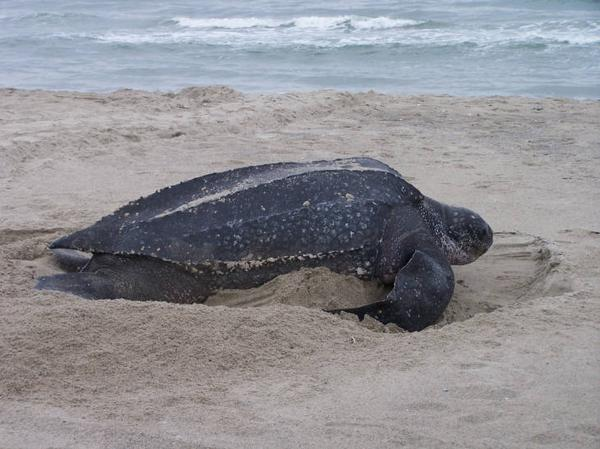 photo of a beach with Leatherback sea turtle on sand