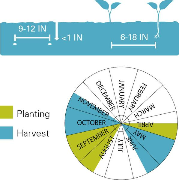Lettuce planting and harvest dates.
