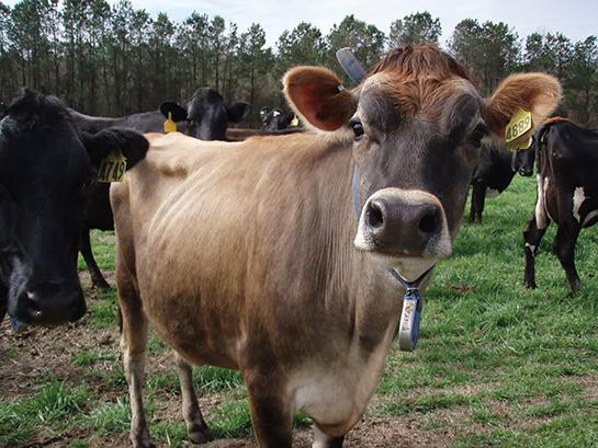 A photo of a dairy cow.