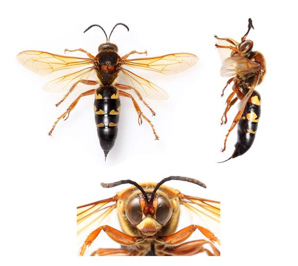 Figure 1. Cicada killer wasp.