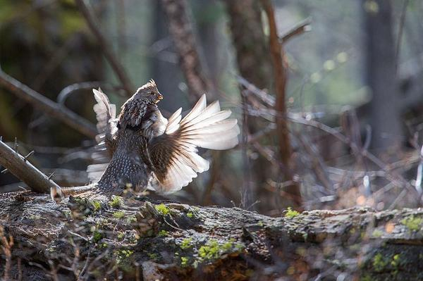 A photo of a male grouse drumming on a downed log