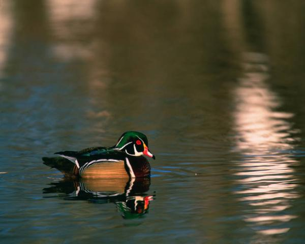 Photo of male wood duck on water ( with harlequin colors)