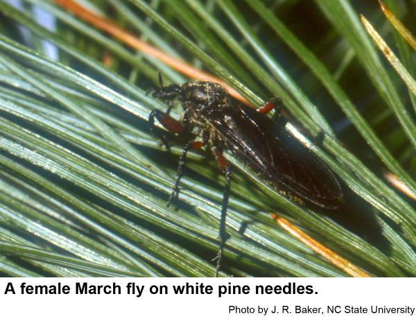 Female March flies have smaller eyes.