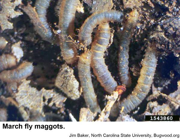 March fly maggots