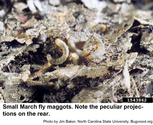 March fly maggots have projections