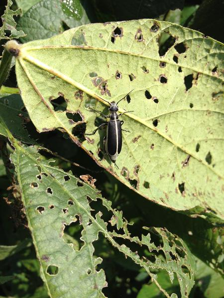 Beetle resting on defoliated soybean leaf