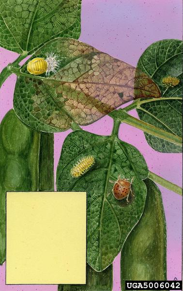 Mexican Bean Beetle, life stages_art