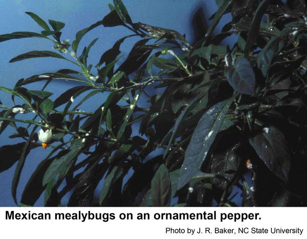 Mexican mealybugs