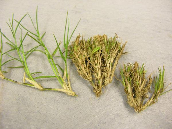 Undamaged bermudagrass (left) vs bermudagrass with witchesbroomi