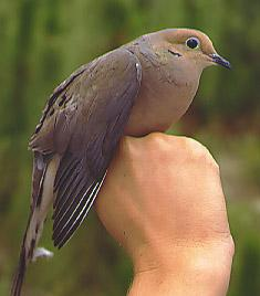 Thumbnail image for Mourning Dove