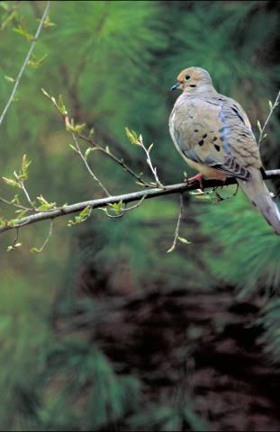 Photo of mourning dove on a tree limb