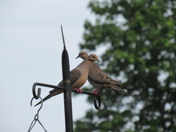 Photo of mourning dove perched at a feeder