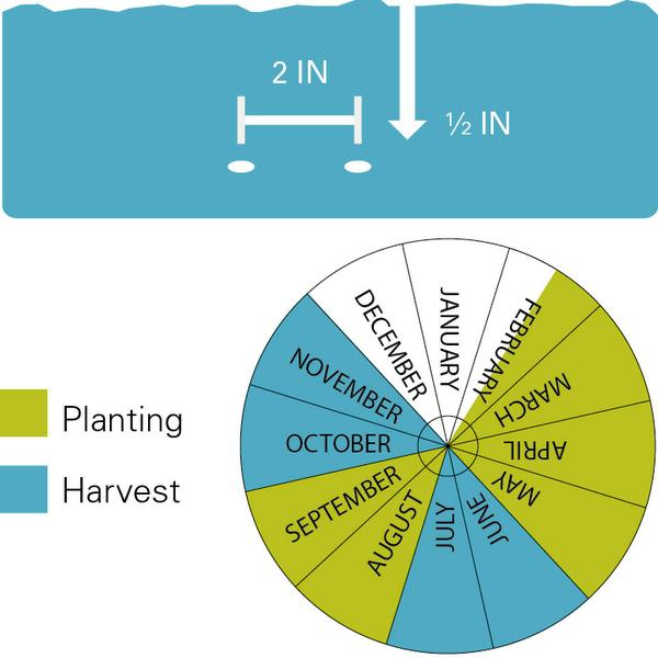 Mustard greens planting and harvest dates.