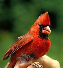 Photo of Northern cardinal