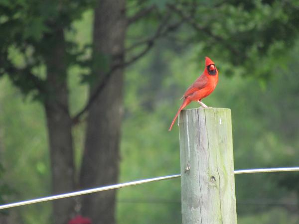 Photo of cardinal perched on fence post on field/forest edge