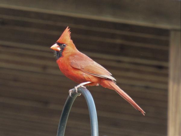 Photo of Northern cardinal perched at a feeding station.