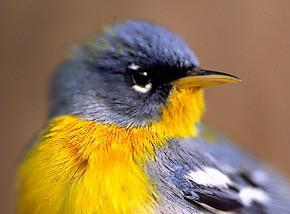 Photo of Northern parula