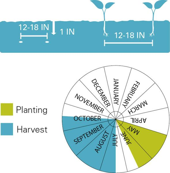Okra planting and harvest dates.