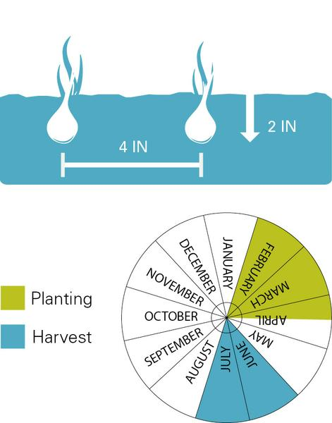 Onions planting and harvest dates.