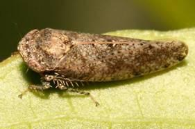 Photo of an adult bespeckled leafhopper