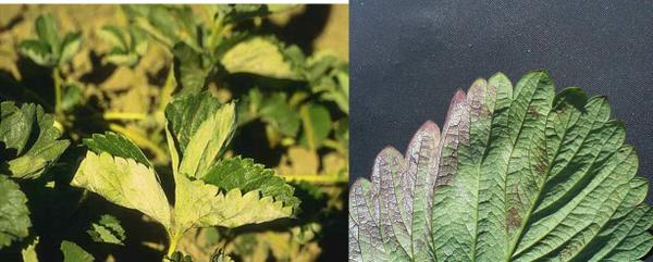 PM symptoms on leaves