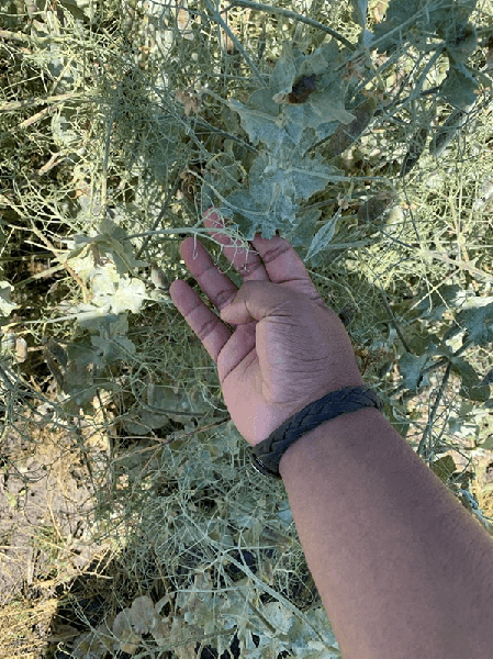 Photo of hand touching foliage with powdery mildew present
