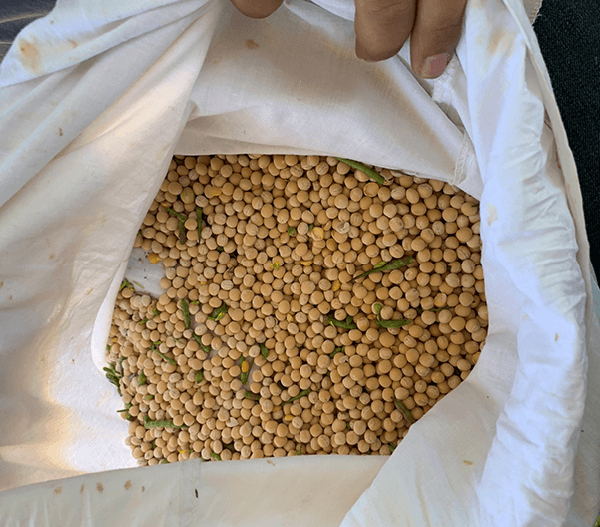 Photo of shelled grain peas