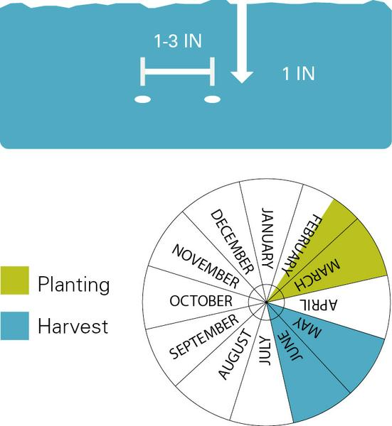 Eggplant planting and harvest dates.