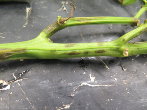 Bacterial spot stem lesions caused by Xanthomonas euvesicatoria