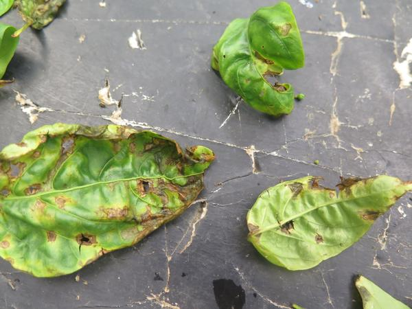 Bacterial spot leaf lesions caused by Xanthomonas euvesicatoria