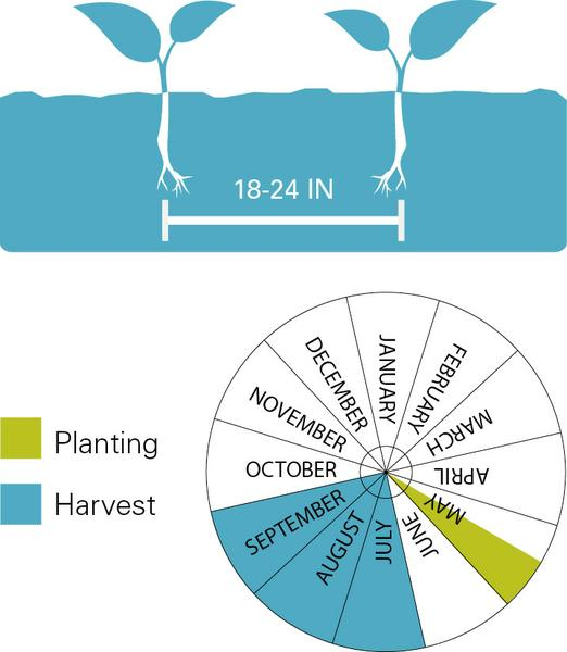 Peppers planting and harvest dates.