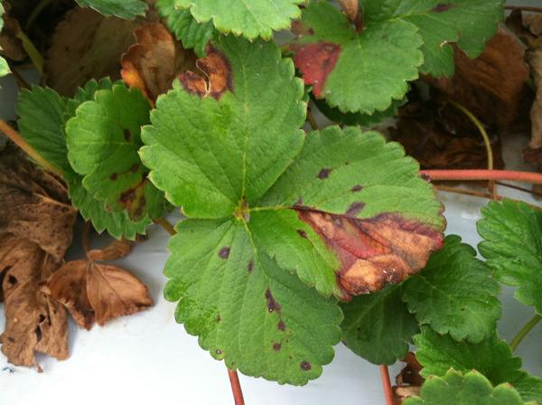 Thumbnail image for Phomopsis Leaf Blight of Strawberry