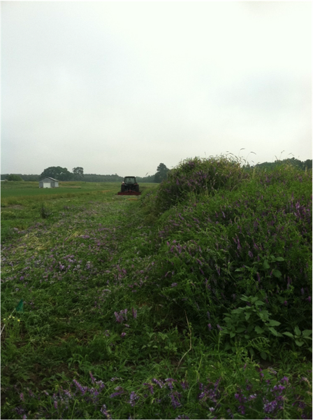Cover crop termination of the rye/vetch mixture
