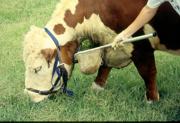 Photo of a steer grazing and masticate being collected.