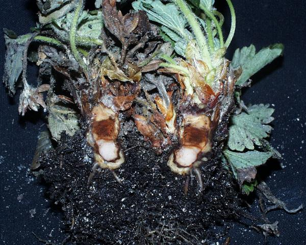Phytophthora crown rot crown