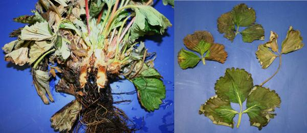Phytophthora crown rot crown leaves