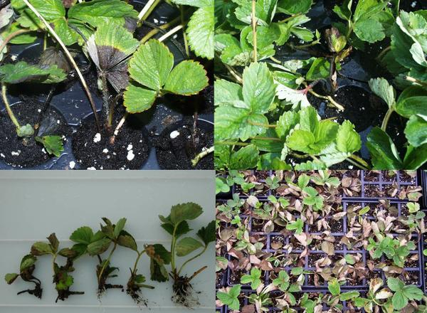 Phytophthora crown rot crown plugs