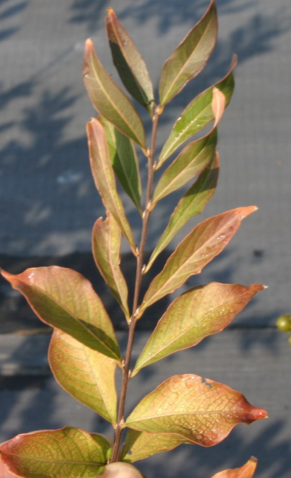 Crape myrtle: imazapic, soil applied, stunted chlorotic foliage.