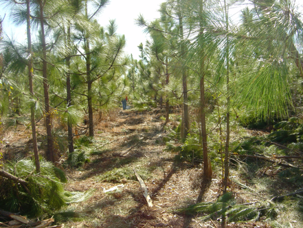 Photo of a pre-commercial thinning operation