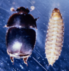 Figure 3. A comparison of an adult SHB and a SHB larva.