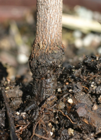 Red maple stem girdling caused by an overdose of indaziflam.