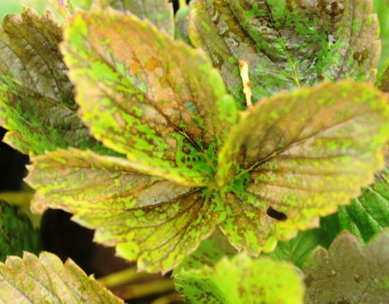 Spotting and necrosis on strawberry leaves from flumioxazin.