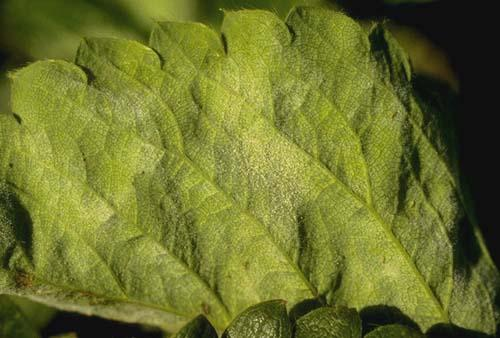 Thumbnail image for Powdery Mildew of Strawberry
