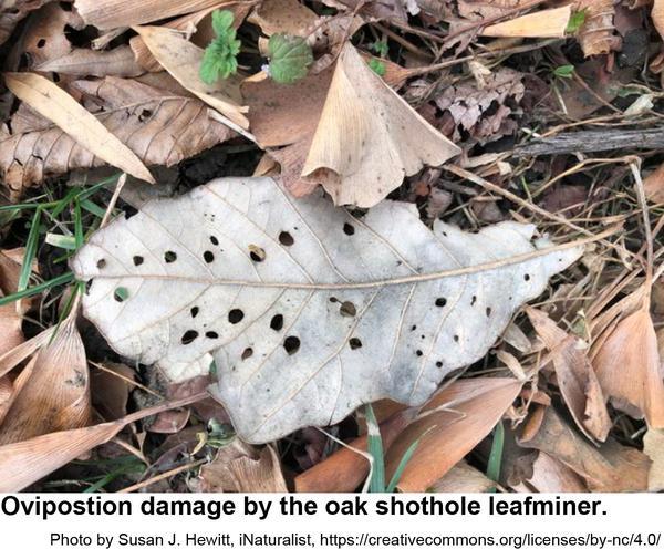 Photo of oviposition damage by oak shothole leafminers